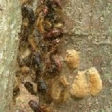 Pupae, Skins, and Egg Masses in Tree Crevice